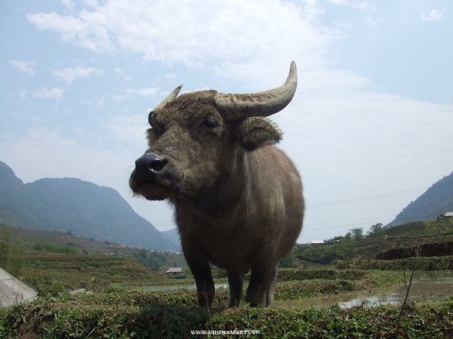 Some time, you will meet a water buffalo at rice field near Ta Van or Lao Chai village